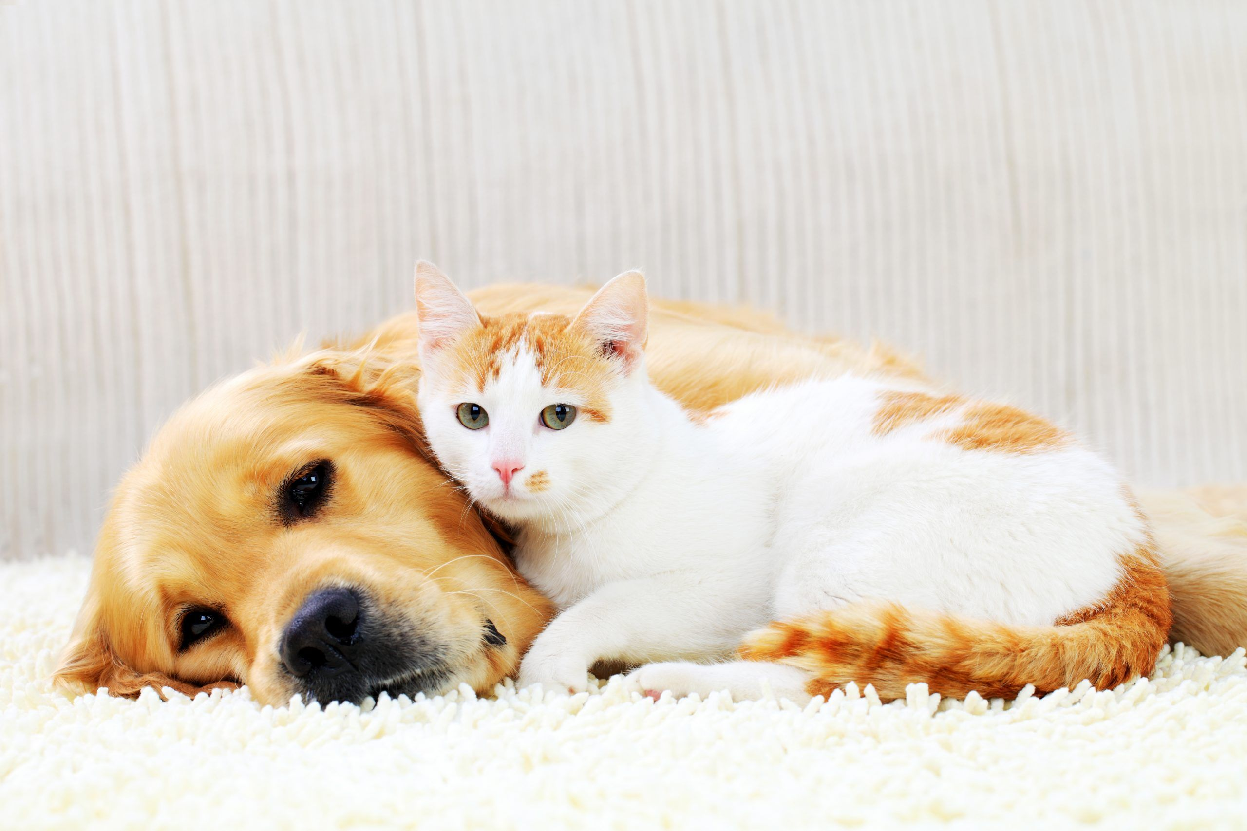 Hond en drie katten besmet met coronavirus in Nederland